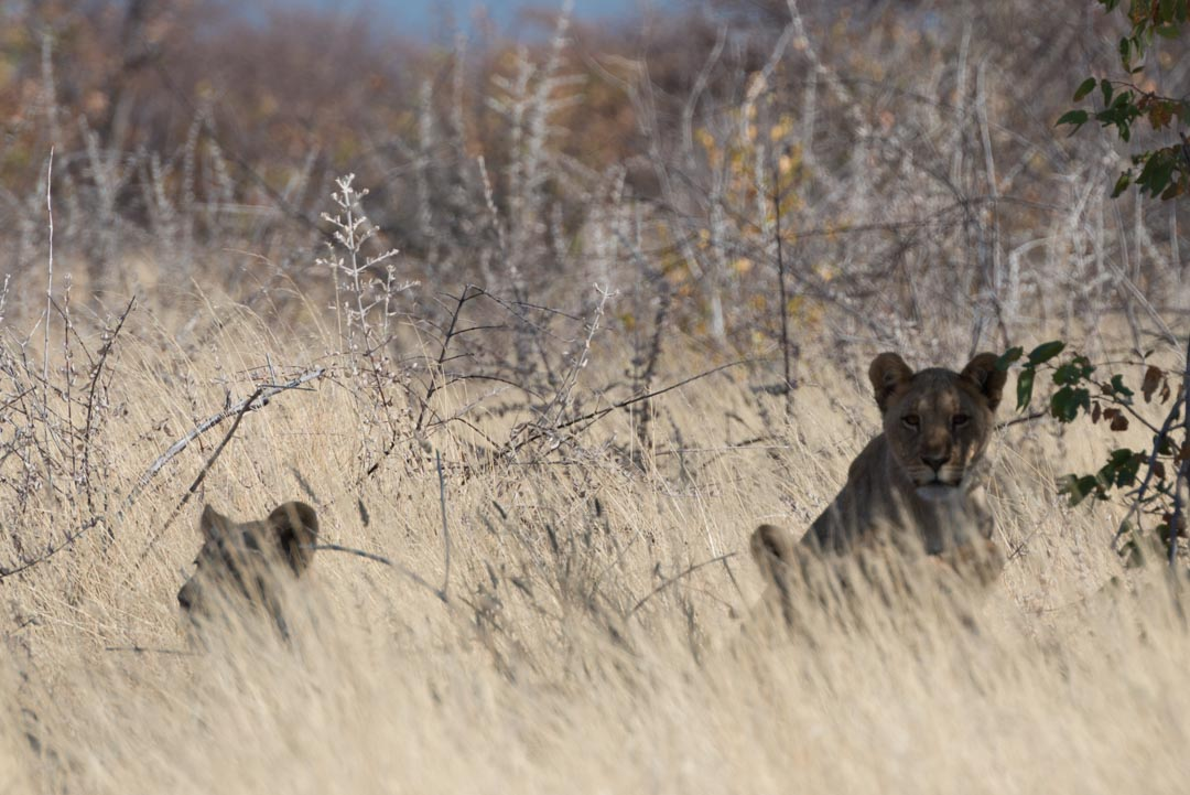 Afrique, Namibie, Etosha, désert, Lion